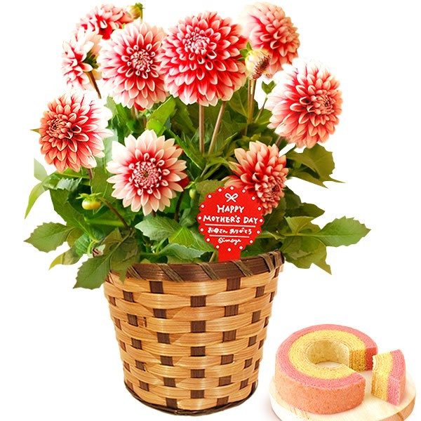 母の日 ギフト 花 母の日 プレゼント 花とスイーツ 2020 ギフトランキング 紫陽花 アジサイ バラ 鉢植え お菓子|oimoya|18