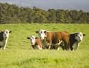 原材料へのこだわり(厳選されたオーストラリア産牛肉を使用)