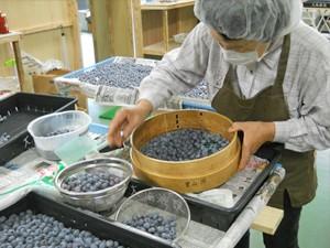 ブルーベリーの収穫と選別