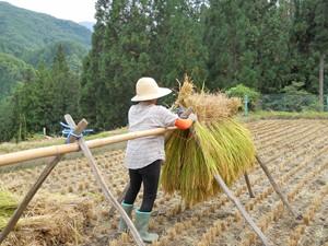大鹿村のはざかけ米