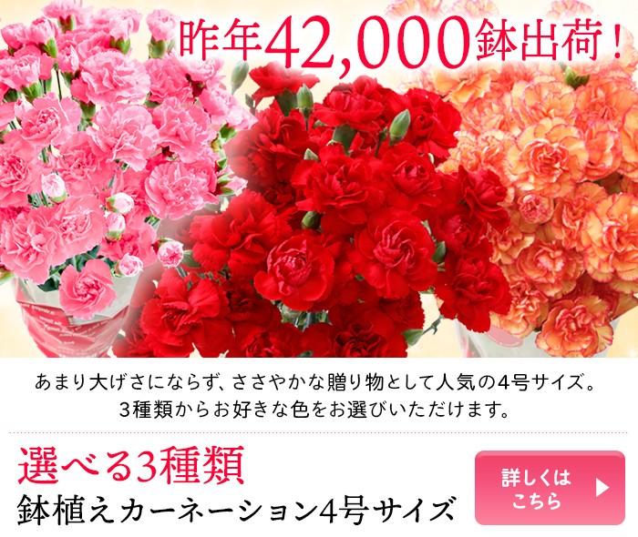 選べる3種類 鉢植えカーネーション4号サイズ