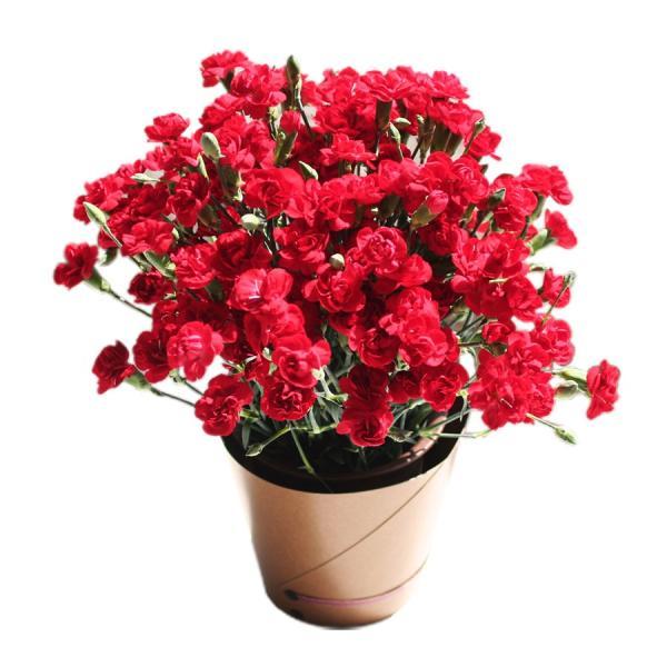 母の日 ギフト 早割 花 カーネーション 選べる16種類 5号 鉢植え 送料無料 プレゼント 花鉢 花束 珍しい 希少 綺麗 キレイ かわいい おしゃれ|organic|14