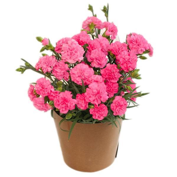 母の日 ギフト 早割 花 カーネーション 選べる16種類 5号 鉢植え 送料無料 プレゼント 花鉢 花束 珍しい 希少 綺麗 キレイ かわいい おしゃれ|organic|23