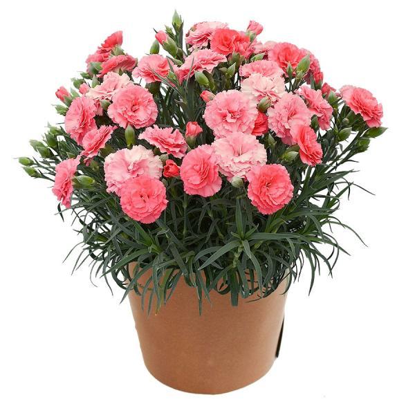 母の日 ギフト 早割 花 カーネーション 選べる16種類 5号 鉢植え 送料無料 プレゼント 花鉢 花束 珍しい 希少 綺麗 キレイ かわいい おしゃれ|organic|24