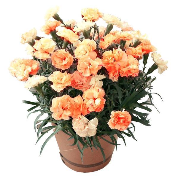 母の日 ギフト 早割 花 カーネーション 選べる16種類 5号 鉢植え 送料無料 プレゼント 花鉢 花束 珍しい 希少 綺麗 キレイ かわいい おしゃれ|organic|25