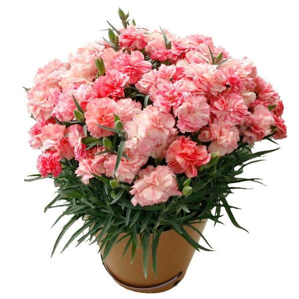 母の日 ギフト 早割 花 カーネーション 選べる16種類 5号 鉢植え 送料無料 プレゼント 花鉢 花束 珍しい 希少 綺麗 キレイ かわいい おしゃれ|organic|26