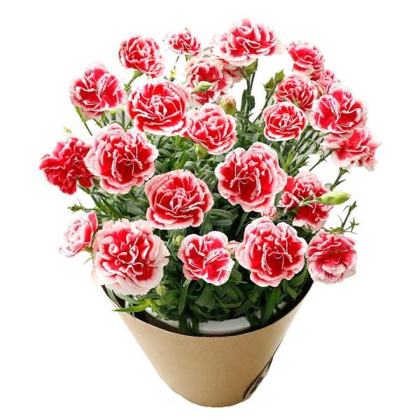 母の日 ギフト 早割 花 カーネーション 選べる16種類 5号 鉢植え 送料無料 プレゼント 花鉢 花束 珍しい 希少 綺麗 キレイ かわいい おしゃれ|organic|27