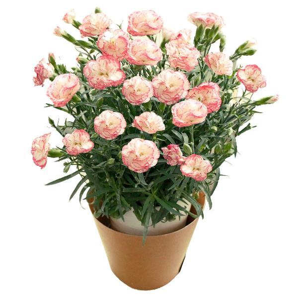 母の日 ギフト 早割 花 カーネーション 選べる16種類 5号 鉢植え 送料無料 プレゼント 花鉢 花束 珍しい 希少 綺麗 キレイ かわいい おしゃれ|organic|28