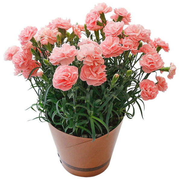 母の日 ギフト 早割 花 カーネーション 選べる16種類 5号 鉢植え 送料無料 プレゼント 花鉢 花束 珍しい 希少 綺麗 キレイ かわいい おしゃれ|organic|29