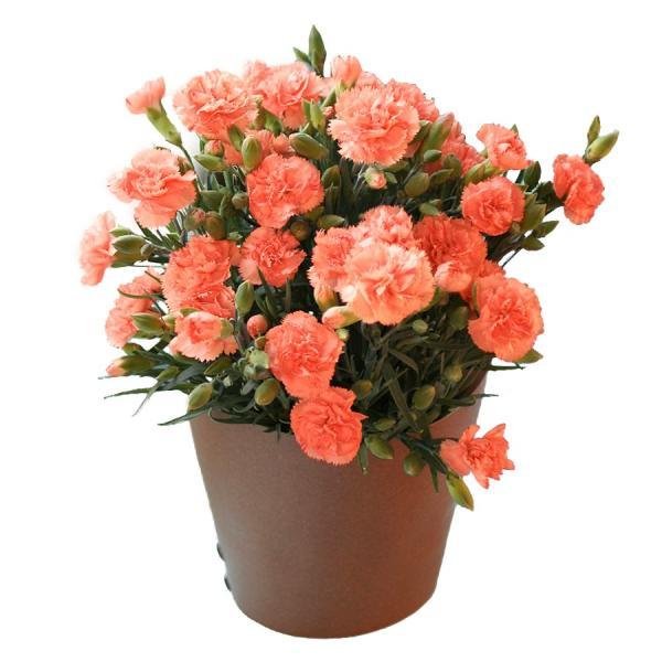 母の日 ギフト 早割 花 カーネーション 選べる16種類 5号 鉢植え 送料無料 プレゼント 花鉢 花束 珍しい 希少 綺麗 キレイ かわいい おしゃれ|organic|15