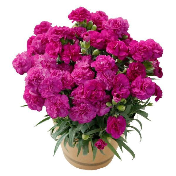 母の日 ギフト 早割 花 カーネーション 選べる16種類 5号 鉢植え 送料無料 プレゼント 花鉢 花束 珍しい 希少 綺麗 キレイ かわいい おしゃれ|organic|16