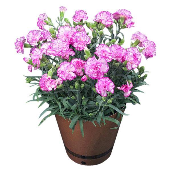 母の日 ギフト 早割 花 カーネーション 選べる16種類 5号 鉢植え 送料無料 プレゼント 花鉢 花束 珍しい 希少 綺麗 キレイ かわいい おしゃれ|organic|17