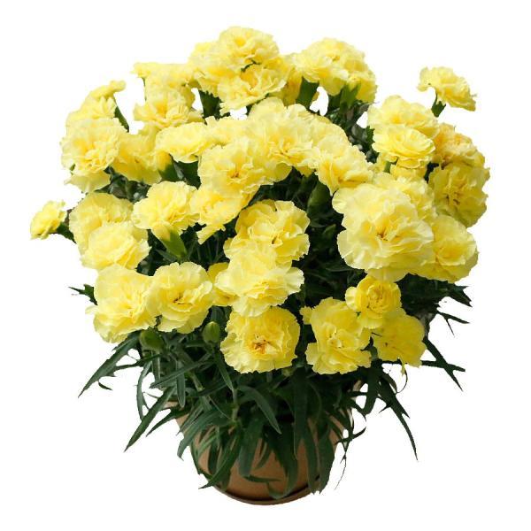 母の日 ギフト 早割 花 カーネーション 選べる16種類 5号 鉢植え 送料無料 プレゼント 花鉢 花束 珍しい 希少 綺麗 キレイ かわいい おしゃれ|organic|18