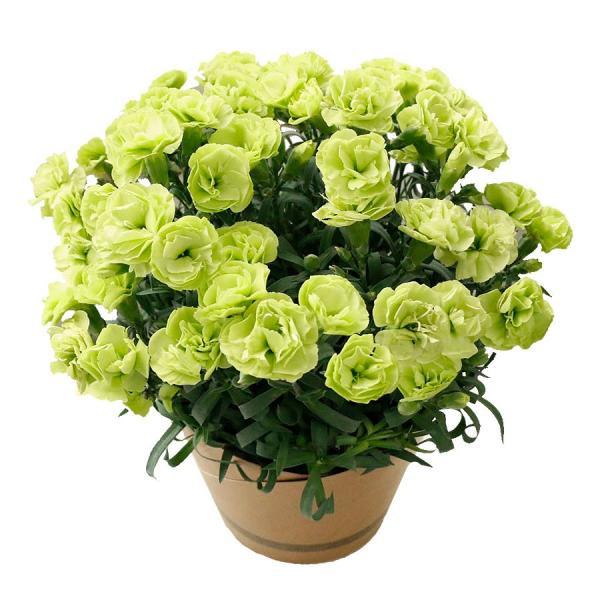 母の日 ギフト 早割 花 カーネーション 選べる16種類 5号 鉢植え 送料無料 プレゼント 花鉢 花束 珍しい 希少 綺麗 キレイ かわいい おしゃれ|organic|19