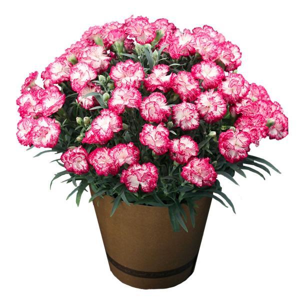 母の日 ギフト 早割 花 カーネーション 選べる16種類 5号 鉢植え 送料無料 プレゼント 花鉢 花束 珍しい 希少 綺麗 キレイ かわいい おしゃれ|organic|20