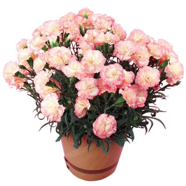 母の日 ギフト 早割 花 カーネーション 選べる16種類 5号 鉢植え 送料無料 プレゼント 花鉢 花束 珍しい 希少 綺麗 キレイ かわいい おしゃれ|organic|21
