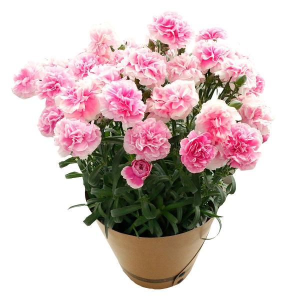 母の日 ギフト 早割 花 カーネーション 選べる16種類 5号 鉢植え 送料無料 プレゼント 花鉢 花束 珍しい 希少 綺麗 キレイ かわいい おしゃれ|organic|22