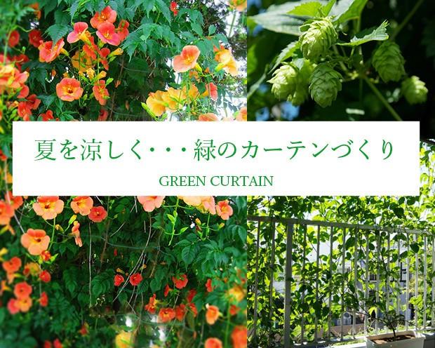 夏を涼しく 緑のカーテンづくり
