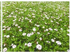 雑草防止も、土留めも、お花のじゅうたんにお任せ。 花マット「リピア ヒメイワダレソウ」がオススメ