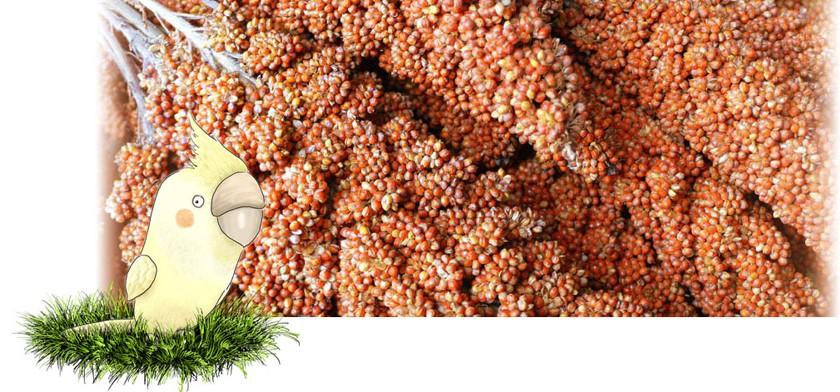 フランス産紅粟の穂 拡大図