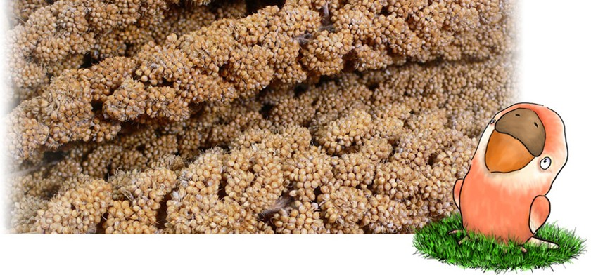 フランス産黄粟の穂 拡大図