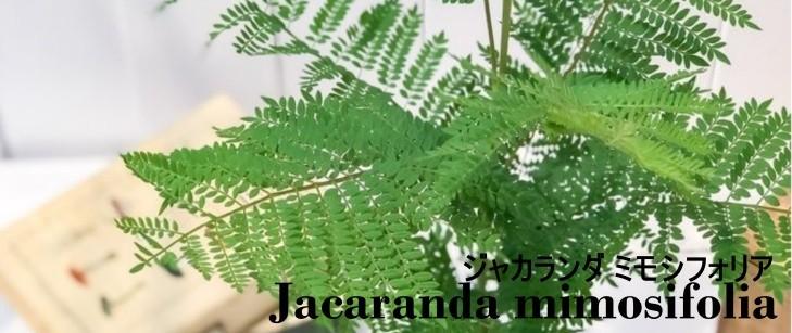ジャカランダ