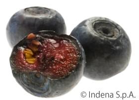インデナ社ミルトセレクトRに使用されているビルベリーの果肉