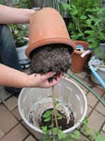 鉢物の植替え