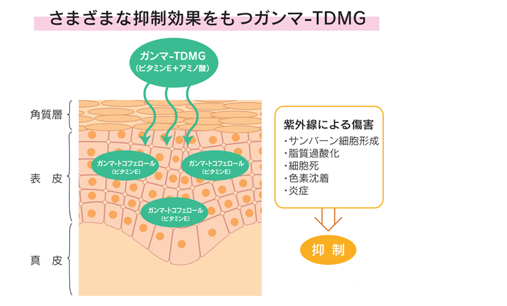 さまざまな抑制効果をもつガンマ-TDMG       角質層:ガンマ-TDMG(ビタミンE+アミノ酸)       表皮:ガンマ-トコフェロール(ビタミンE)       ガンマ-トコフェロール(ビタミンE)       ガンマ-トコフェロール(ビタミンE)       真皮       紫外線による障害       ・サンバーン細胞形成       ・脂質過酸化       ・細胞死       ・色素沈着       ・炎症       抑制