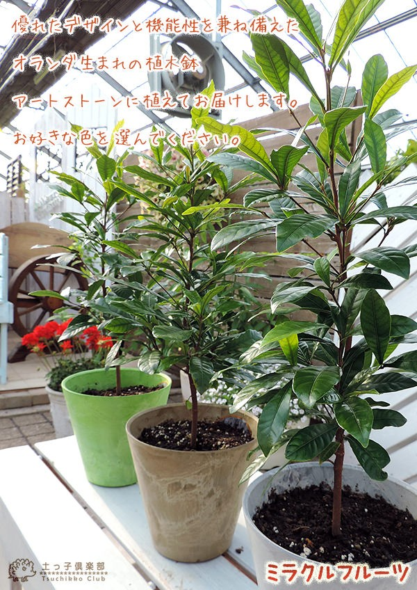 ミラクルフルーツ鉢植え