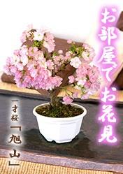 鉢植え盆栽 一才桜