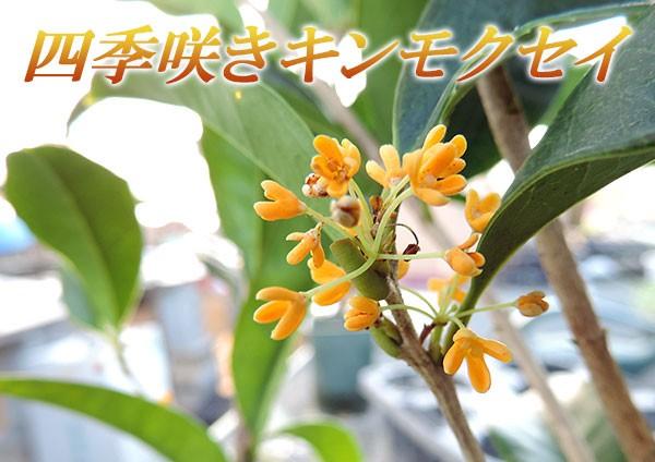 四季咲き金木犀