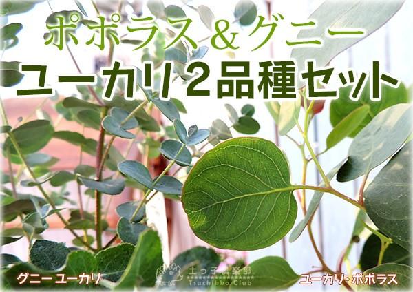 ユーカリ2品種セット(ポポラス&グニー)