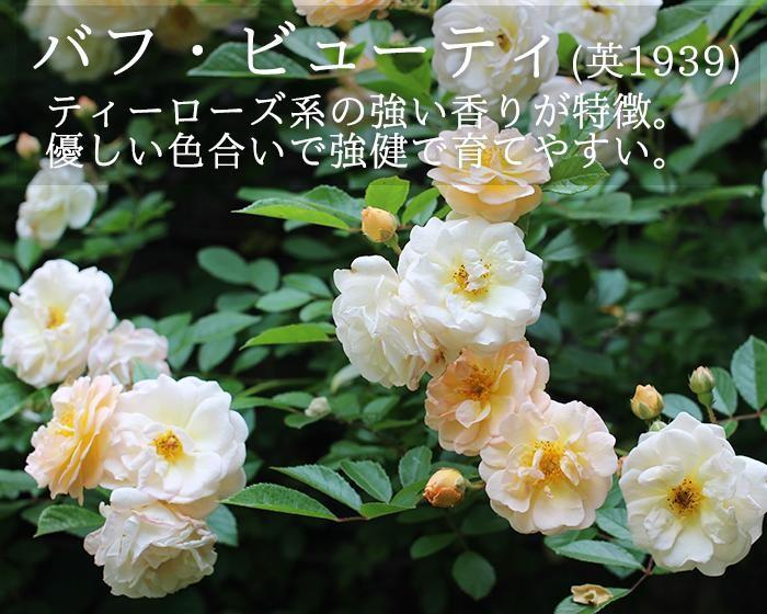 つるバラ、バフビューティのバラ苗