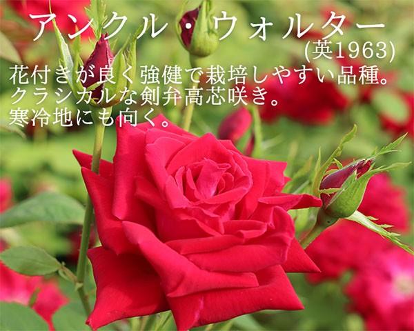 つるバラ、アンクルウォルタ―のバラ苗