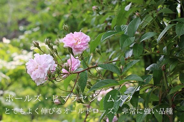 つるバラ、ポールズヒマラヤンムスクのバラ苗