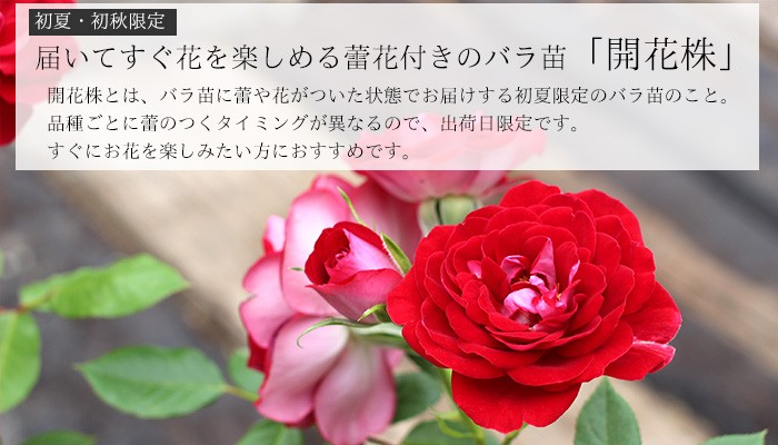 花付きのバラ苗 贈答用 開花株