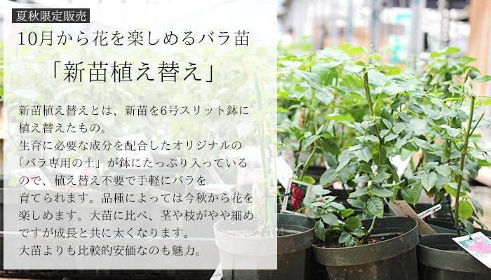新苗植え替えのバラ苗 夏のバラ苗 バラ