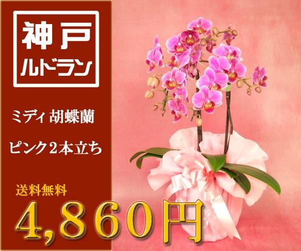ミディ胡蝶蘭 ピンク 2本立ち 4,860円