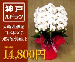 大輪 胡蝶蘭 3本立ち 白 30輪以上 14,800円