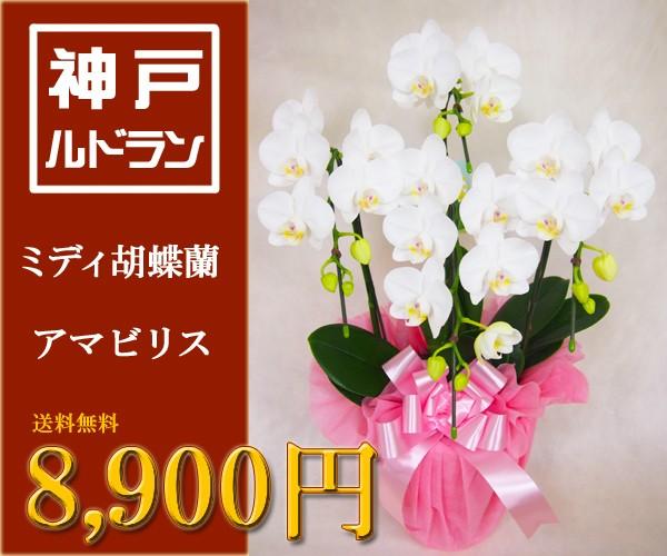 ミディ胡蝶蘭 アマビリス 8,900円