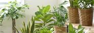 写真:お試し観葉植物