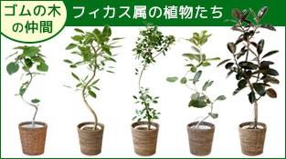 フィカス属の植物たち