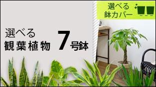 選べる!7種類 7号鉢 観葉植物