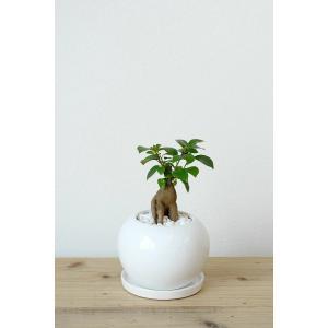 8種類から選べる ミニ 観葉植物 白陶器のボールポットとロングポット ガジュマル ポトス エバーフレッシュ ソテツ(蘇鉄)|saisyokukenbi|06