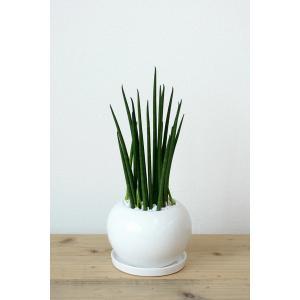 8種類から選べる ミニ 観葉植物 白陶器のボールポットとロングポット ガジュマル ポトス エバーフレッシュ ソテツ(蘇鉄)|saisyokukenbi|08