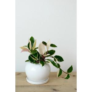 8種類から選べる ミニ 観葉植物 白陶器のボールポットとロングポット ガジュマル ポトス エバーフレッシュ ソテツ(蘇鉄)|saisyokukenbi|10