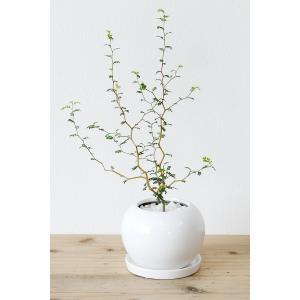 8種類から選べる ミニ 観葉植物 白陶器のボールポットとロングポット ガジュマル ポトス エバーフレッシュ ソテツ(蘇鉄)|saisyokukenbi|12