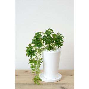 8種類から選べる ミニ 観葉植物 白陶器のボールポットとロングポット ガジュマル ポトス エバーフレッシュ ソテツ(蘇鉄)|saisyokukenbi|07