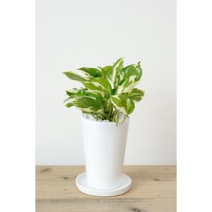 8種類から選べる ミニ 観葉植物 白陶器のボールポットとロングポット ガジュマル ポトス エバーフレッシュ ソテツ(蘇鉄)|saisyokukenbi|09